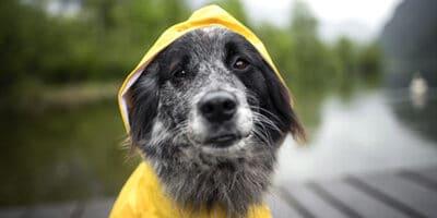 Dog with a rain coat on